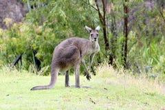 Känguru mit dem nassen Pelz, der im Regen, West-Australien steht Lizenzfreies Stockbild