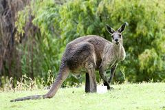 Känguru mit dem nassen Pelz, der im Regen, West-Australien steht Stockbilder