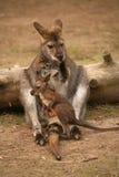 Känguru mit Schätzchen Stockfotos