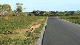 Känguru nära grov asfaltbeläggningvägen, innan att korsa den royaltyfri foto