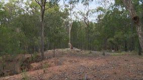 Känguru nahe Holz stock footage