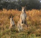 Känguru och känguruunge på Geehi campa område, Kosciuszko nationalpark NSW Australien Arkivbild