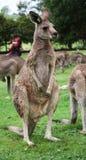 Känguru och kompisar Royaltyfri Foto