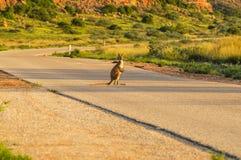 Känguru på vägen Arkivbilder
