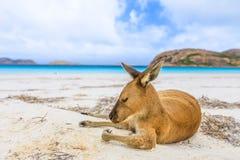 Känguru på vit sand fotografering för bildbyråer