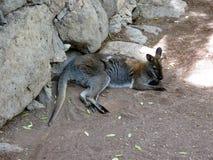 Känguru, Palmitos-Park, Zoo Lizenzfreies Stockbild