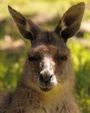 Känguru-Porträt Stockfotos