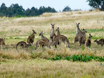 Känguru-Satz stockfoto