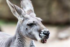 Känguru som är nära upp med tungan ut Fotografering för Bildbyråer