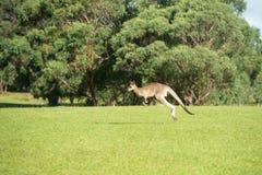 Känguru som hoppar i en parkera Fotografering för Bildbyråer