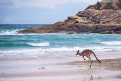 Känguru som hoppar på stranden royaltyfria foton