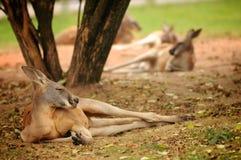 Känguru som ligger på ängen i zoo Arkivbild