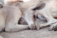 Känguru som sover i zoo Arkivfoton