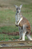 Känguru-Spuren Stockbilder