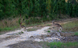 Känguru und ihre Junge Stockfotografie