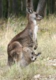 Känguru und Joey Stockbild