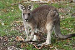 Känguru und Joey stockbilder