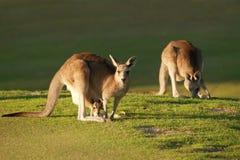 Känguru und joey Stockfotos