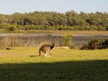 Känguru västra Australien Fotografering för Bildbyråer