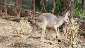 Känguru-Wallaby - australische wild lebende Tiere stock video