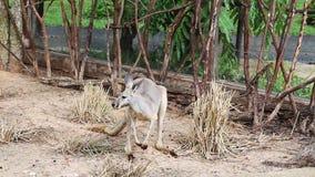 Känguru-Wallaby - australische wild lebende Tiere stock footage