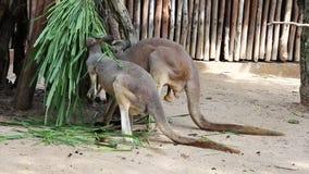 Känguru-Wallaby - australische wild lebende Tiere stock video footage
