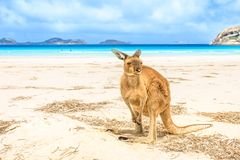 Känguruanseende på Lucky Bay arkivfoto