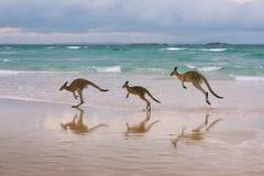 Kängurufamilie auf dem Strand Lizenzfreie Stockbilder