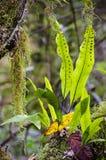 Kängurufarn, Microsorum diversifolium Lizenzfreies Stockbild