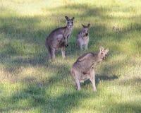 Kängurufehlschlag eine Bewegung Stockfotos