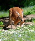 känguruh Lizenzfreie Stockfotos