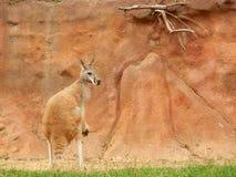 känguruh Stockfotografie