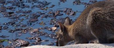 känguruh Stockbilder
