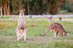 känguruhs Lizenzfreies Stockbild