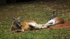 känguruhs Lizenzfreies Stockfoto