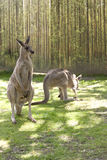känguruhs Lizenzfreie Stockbilder