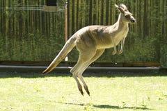 känguruhs Stockbild