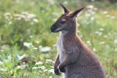 Kängurujunges Lizenzfreies Stockfoto