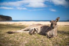 kängurumoder Fotografering för Bildbyråer