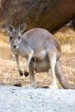 Kängurumoder & känguruunge, Adelaide, Australien Royaltyfri Bild