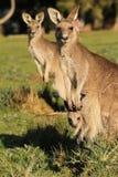 Kängurumoderanseende med känguruunge Royaltyfri Fotografi
