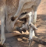 Kängurun behandla som ett barn arkivfoto