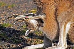 Kängurun med behandla som ett barn i påse Royaltyfri Fotografi
