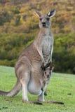 Kängurun med behandla som ett barn känguruunge i påse Royaltyfri Fotografi