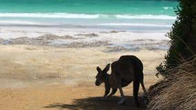 Kängurun och behandla som ett barn kängurun som banhoppningen på stranden i udde Le Grand National parkerar stock video