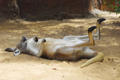 kängurun ta sig en tupplur Royaltyfri Bild