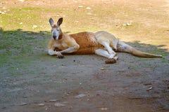 Kängurun vilar på en äng Royaltyfri Foto