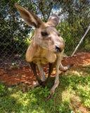 Kängurunahaufnahme lizenzfreies stockbild