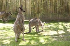 kängurur Fotografering för Bildbyråer