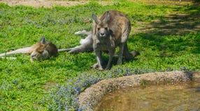 kängurur Royaltyfri Fotografi